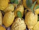 Cedars of Sicily